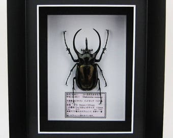 Chalcosoma caucasus Beetle - Wall Decoration - Taxidermy Insect Mounted in Poly Frame - 11cm
