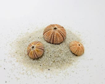 Sea Urchin, pink Urchin shells, curiosity, taxidermy, pink shell, Sea Urchin, Sea Urchin, orange Sea Urchin, sea urchin test skeleton test,