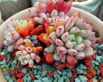 Echeveria subcorymbosa, rare succulent, 10 seeds