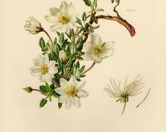 Vintage lithograph of the mountain avens, eightpetal mountain-avens, white dryas, and white dryad from 1954