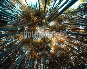 Nature Photography, Bamboo Forest, Autumn, Peaceful, Modern, Trees, Bamboo, Bamboo Art, Art Print, Wall Art, Living Room Art, Wall Decor
