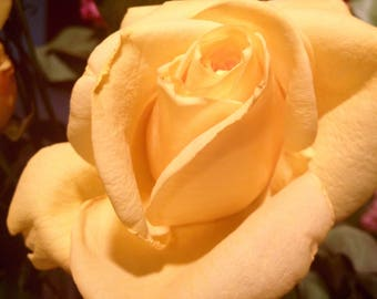 Yellow Rose Friendship Cards