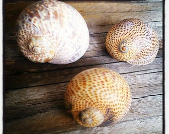 Vintage set of 3 sea SNAIL shells