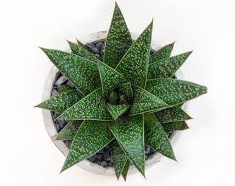 Aloe in a round concrete pot