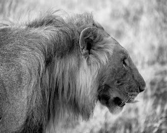 Majestic Lion - Fine Art Photograph - Wall Art - Monochromatic Art - Black and White - Wildlife Photography - Africa