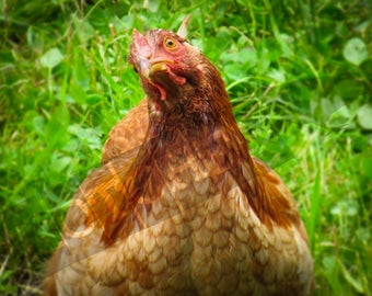 Thug Chicken - Instant Digital Download - Printable - Fine art - Animal Photography