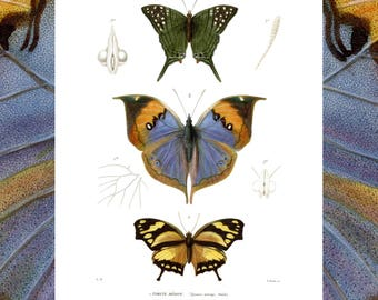 Download 1838 lithograph Numerique-cuvier-entomologie-a4-a3-a2-planche print Butterfly print-instant download
