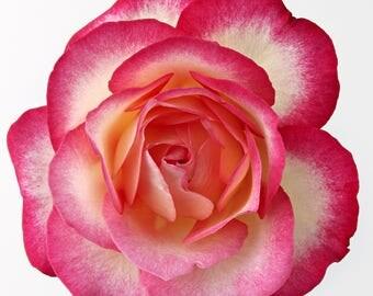 White with Pink Edge Rose Bud Cross Stitch Pattern