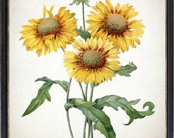 Digital Flower Print, Yellow Gaillardia Vintage Illustration, Instant Download,  Botanical Wall Art Printable