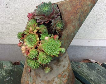 Sempervivums in Old Oil Can