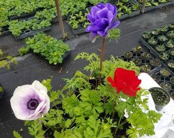 Live Anemone Potted Plants Various Colors 4 mixed pots
