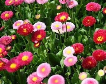 English Daisy Flowers 200 Fresh Seeds Bellis Perennis