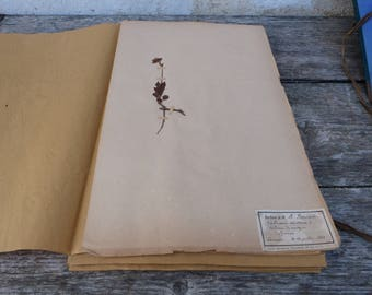 Antique-1887-1889-French-herbarium Valeriana montana