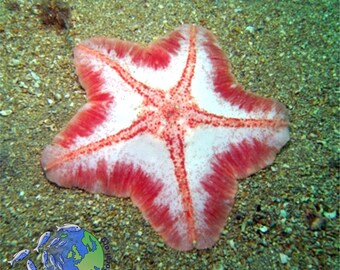 "Pillow cover ""Starfish"""
