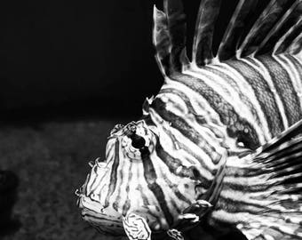 Photograph: Black and White Photo 5x7 Print Tiger Fish