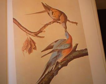 Vintage - Passenger Pigeon - Audubon Color Plate from original 1820 print - Cincinnati life painting - gift for birders - nature lovers