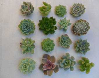 20 Succulents Cuttings, All Will Be Small Rosettes, Terrariums, Succulent Favors