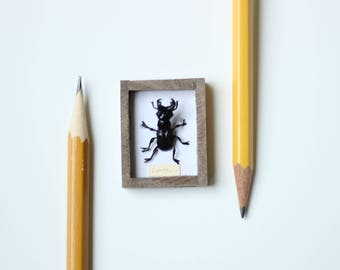 Miniature Framed Stag Beetle