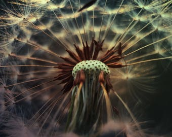D A N D E L I O N wishes at sunset -- 11 x 14 macro photograph of a dandelion