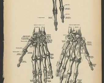 2 Vintage 1880 Human Anatomy Lithograph Print Bones of Hand, Wrist and Fingers