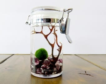 FREE SHIPPING: Acrylic Small Marimo Terrarium, Japanese Marimo Moss Balls , Several Colors / Gifts under Twenty Dollars
