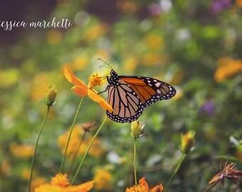 Single Monarch, butterfly decor, monarch butterfly, butterfly art, butterfly print, nature photography, fine art photography wall art