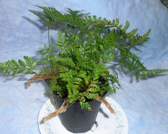 Rabbit's Foot Fern - The ''Good Luck'' plant! -  Rooted, Live