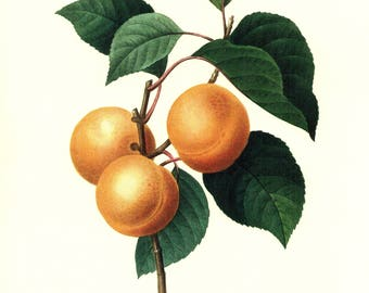 Vintage Fruit Print Redoute Botanical Apricot Print French Kitchen Decor Gallery Wall Gift for Gardener Birthday Wedding pjr 3397