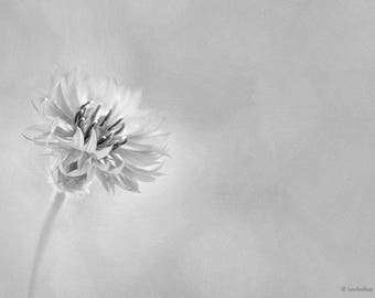 Cornflower Art Print, Black and White Photography, Minimalist Art Print,  Nature Photography Print, Fine Art Print 8x10, 11x14, 16x20