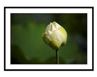 Zen Art Print, Lotus Picture, Floral Artwork, White Flower Artwork, Nature Photography, Gift for Yoga Teacher