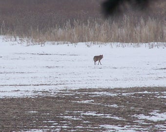 Coyote crossing field.