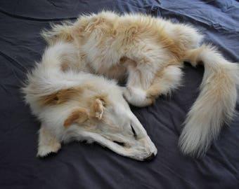 Genuine Leucistic Coyote Pelt