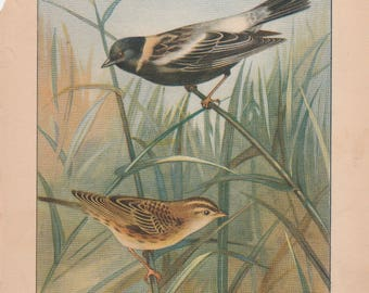 Bobolink/Crow Antique Bird Print 1926 R. E. Todhunter