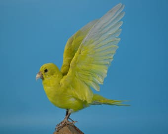 real bird taxidermy yellow parrot with wing open,birthday gift,display,free shipping to every where