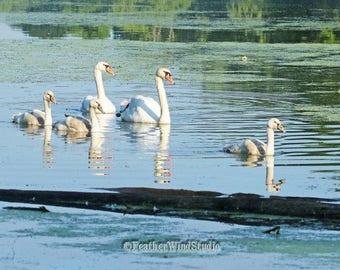 Mute Swan Family Photo | Lake Bird Art | Wildlife | Blue and White Photography | Swimming Birds Home Decor | FeatherWindStudio | Swans Print