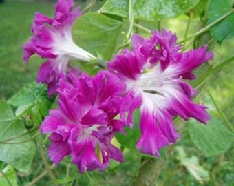 Morning Glory Ipomoea Akahigezaki  5 seeds
