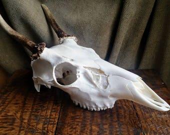 European Deer Skull