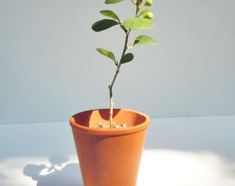 Bonsai Fig Tree / Sprouted branch / LIVE TREE! / Strong Speciman in a small terra cotta pot
