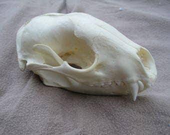 Large Raccoon Skull