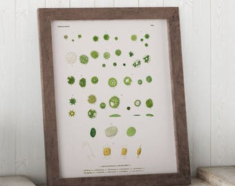 Micrasterias, Algae through the Microscope Science Print - Biology Art - Micro-organism Print - Microbiology Art - Science Student Gift