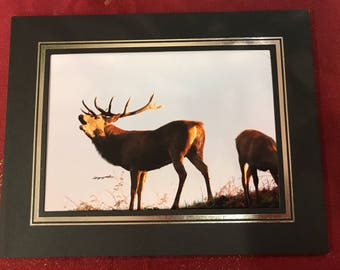 Red Deer Stag - Bellowing 7x5 photo in frame