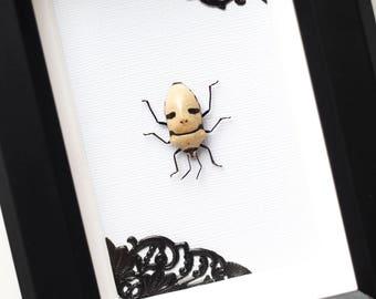 Framed beetle grandis Eucorysses skull