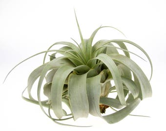 Xerographica Air Plant - Large | Air Plants for Terrariums | Indoor Air Plants