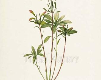 Lily of the Incas Flower Art Print, Lily Art Print, Botanical, Flower Wall Art, Flower, Floral, Redoute, pink, white, Alstroemeria Ligtu