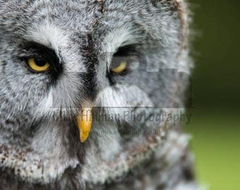 """Mounted Photographic Display Print - Great Grey Owl #1 (A4 print in 14"""" x 11"""" Mount, Unframed)"""