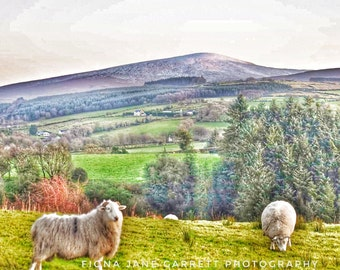 Sheep of The Sperrins