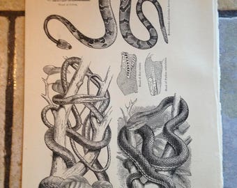 1890 Snakes Antique Illustrations
