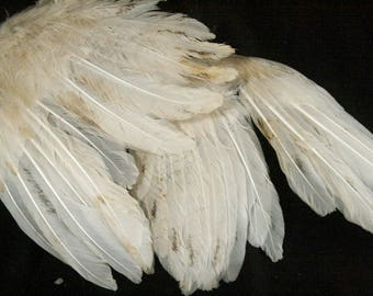 Small Mottled White Turkey Wings: Real Dried Wings, Non-Toxic - meleagris gallopavo  TW069