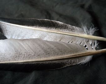 """x2 Large Pinion Feathers - 11 7/8"""", Dusted White, Real Heritage Turkey- meleagris gallopavo HTF004FB"""