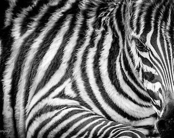 Zebra,Black and White,Zebras,Baby Zebra,Oversize,Africa,Tanzania,Wildlife,Big Five,Wall Art,Home Decor,Canvas,Safari,African Art,High Key